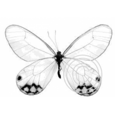Etherial Butterfly, Art Acetate