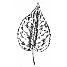 Small Aspen Leaf Cling Stamp
