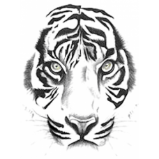 White Tiger Art Acetate